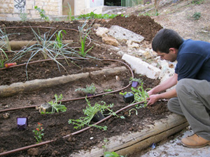 This past November, in the heat of a day's work in the community garden adjacent to the new WAC (Ma'an) office in Haifa, a curious neighbor asked us what the connection is between a worker's organization and a community garden. At the time, there were working in the garden volunteers accompanied by a professional gardener.