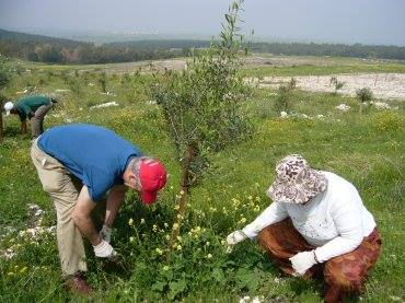 "The organic plantation, named ""Oasis – organic agriculture for solidarity between Arab and Israeli societies"" is an innovative and unique project, established in December 2009. It turned 95 dunams (9.5 hectares) of uncultivated land in the Roha area of Wadi Ara into a modern organic olive grove."