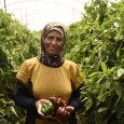 "Karima from Kufr Qara in the pepper greenhouse. Photo Noa Kozak Karima Yahya, 53, is a mother of six and a grandmother. She has been involved in the project ""Women..."