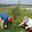 """The organic plantation, named """"Oasis – organic agriculture for solidarity between Arab and Israeli societies"""" is an innovative and unique project, established in December 2009. It turned 95 dunams (9.5 hectares) of uncultivated land in the Roha area of Wadi Ara into a modern organic olive grove."""